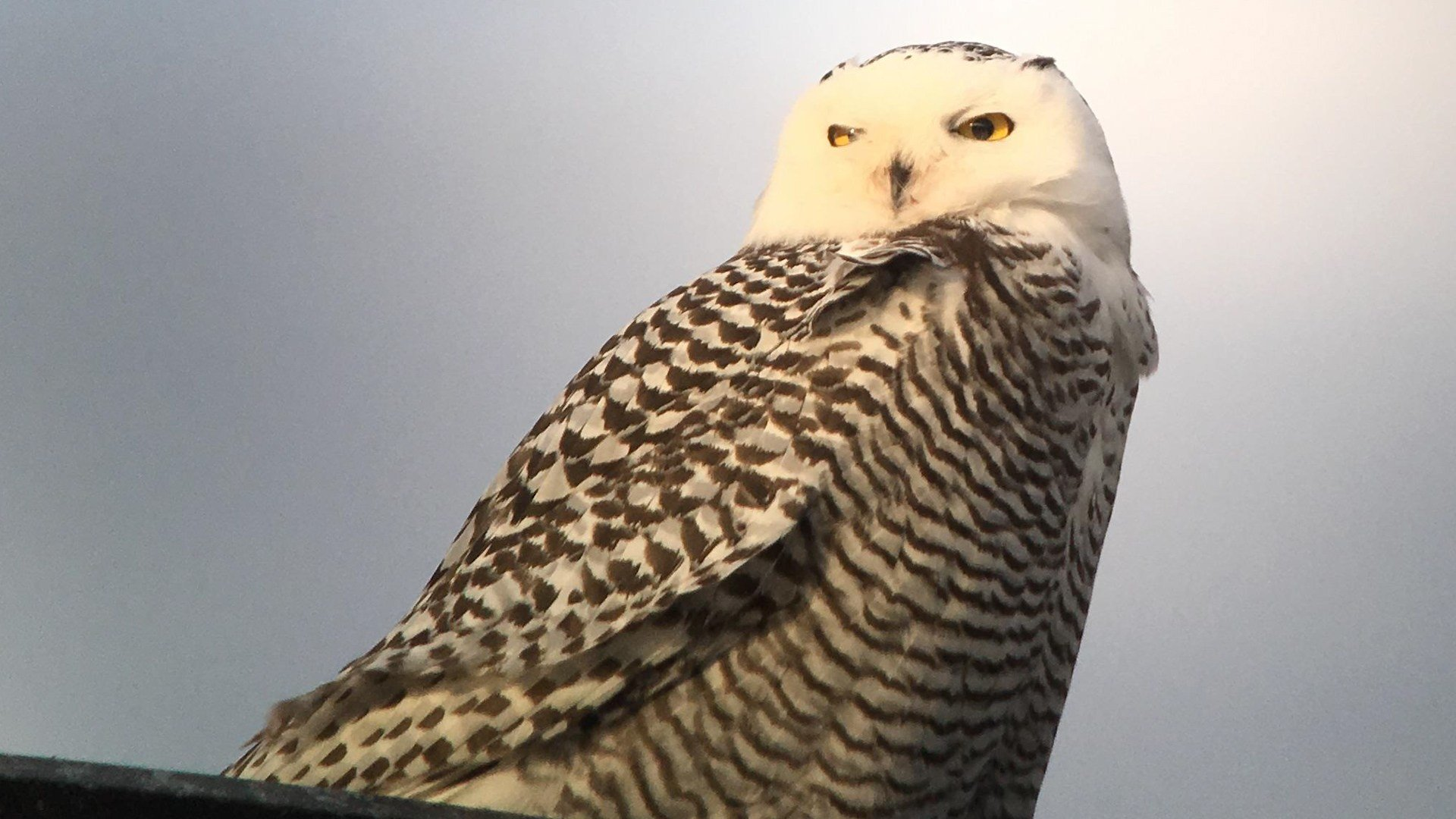 weny news snowy owl spotted on roof of erie cvs store