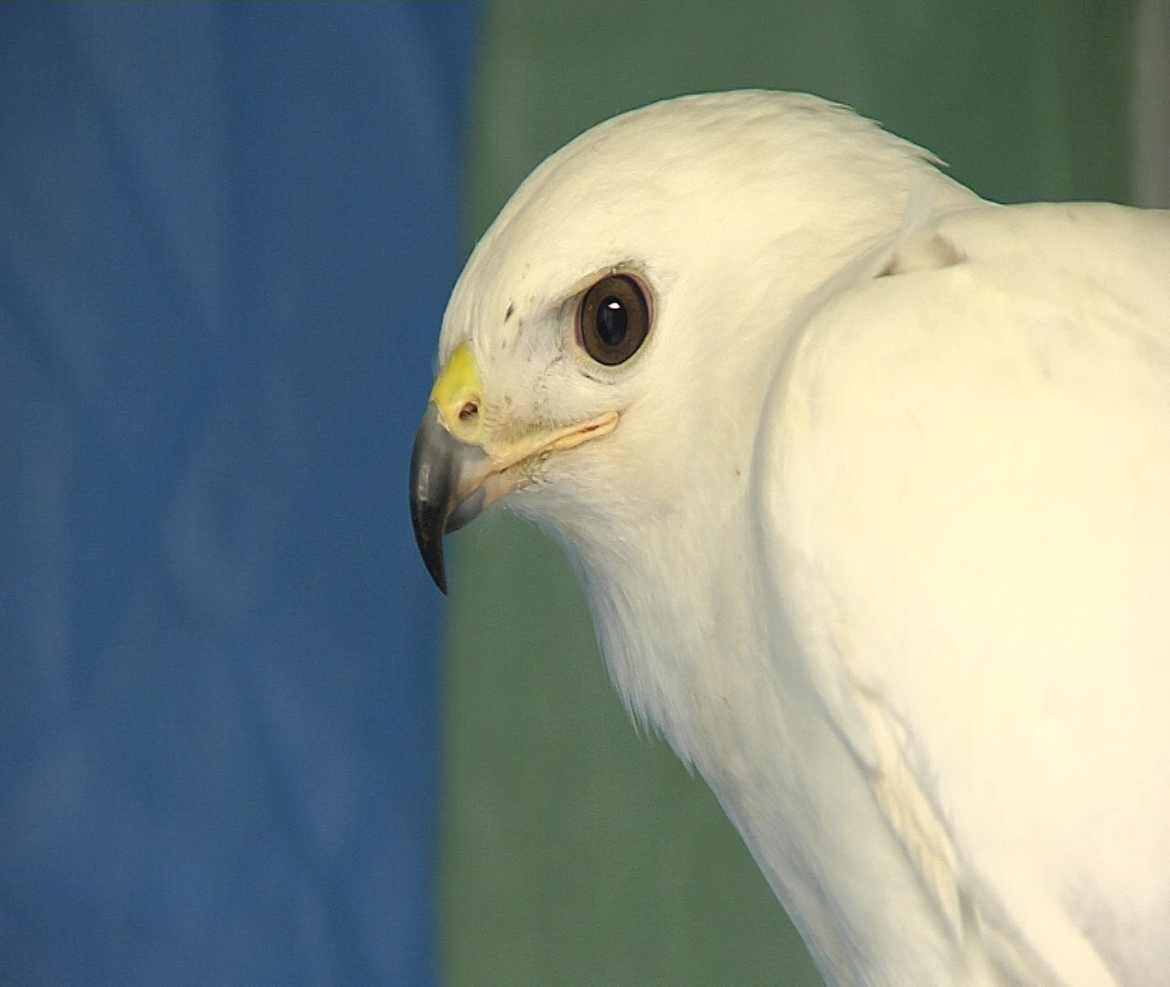 Fairway Auto Center >> Rare White Hawk Recovering at Local Wildlife Center - Erie News Now | WICU and WSEE in Erie, PA