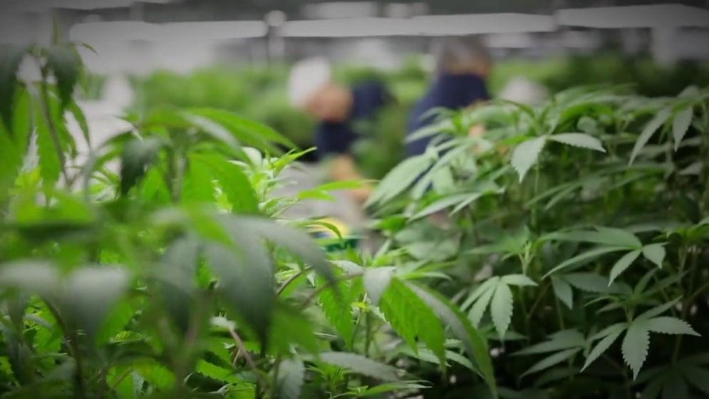 Phase-in of Dry Leaf Medical Marijuana in Pennsylvania
